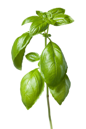 how to grow basil in arizona