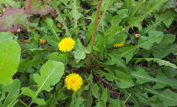 8 ways to eat Dandelions