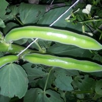 How to shell broad beans