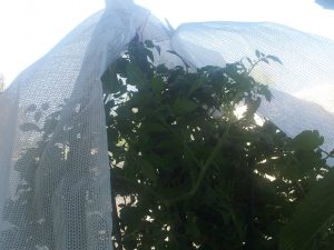 using-shadecloth-to-protect-the-vegetable-garden-from-heat