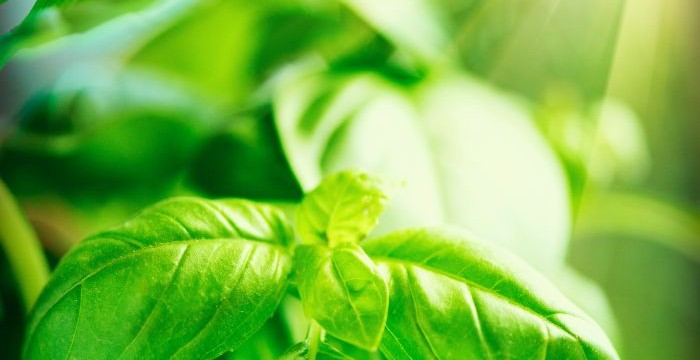 Close-up of fresh basil leaves. Fresh Basil growing in garden. Nature healthy Basil over Blurred Background with Sunshine.