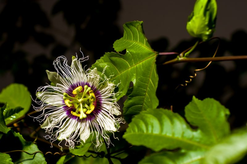 Improve your passionfruit crop